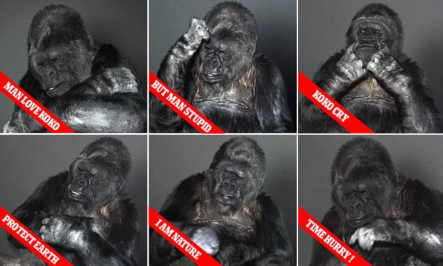 Koko – A Tribute to the Gorilla Who Knew Sign Language